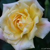 IMG_7836-flower-rose-yellow