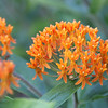 #7863, unknown orange flower