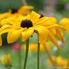 IMG_8077-flower-daisy-or-black-eyed-susan