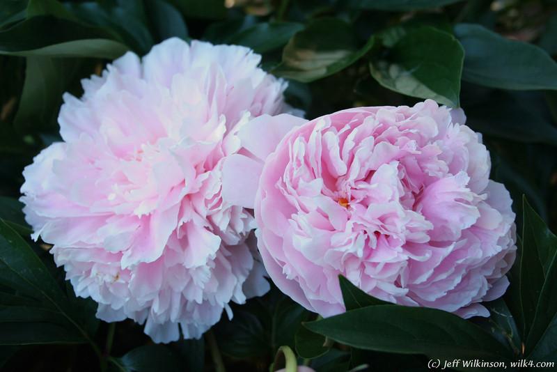 IMG_7860-flower-peony