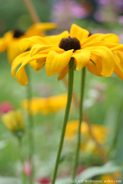 IMG_8081-flower-daisy-or-black-eyed-susan
