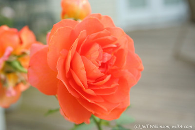 IMG_8013-flower-rose-red