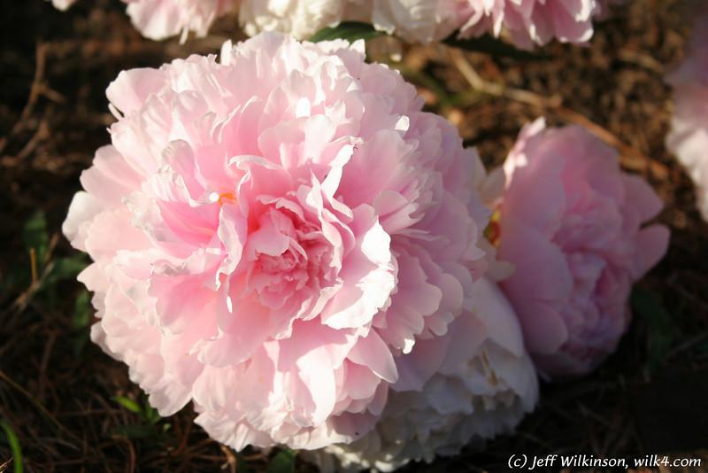 IMG_7863-flower-peony