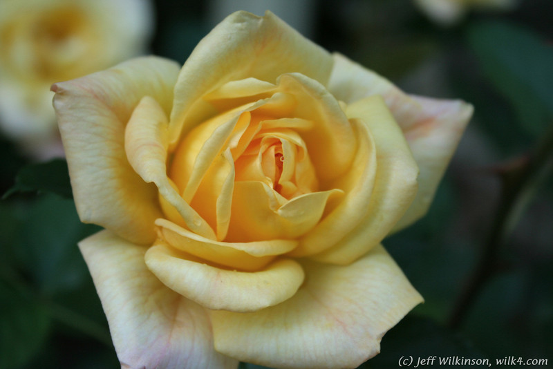 IMG_7846-flower-rose-yellow