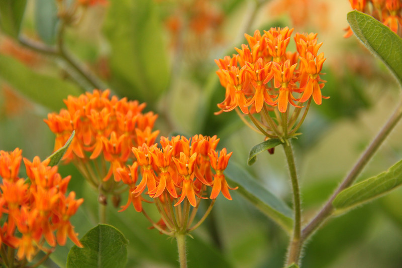 #7866, unknown orange flower