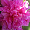 IMG_7870-flower-peony