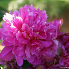 IMG_7868-flower-peony