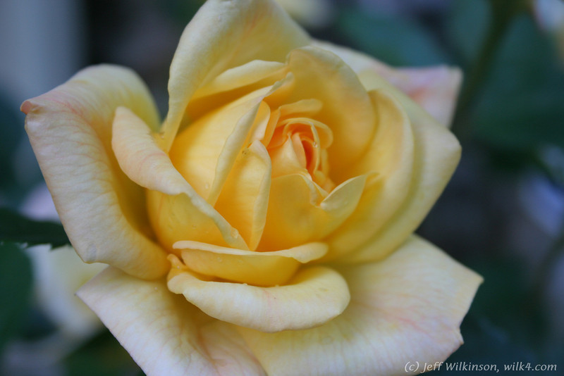 IMG_7839-flower-rose-yellow
