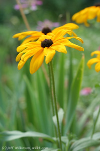 IMG_8068-flower-daisy-or-black-eyed-susan