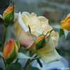 IMG_7844-flower-rose-yellow