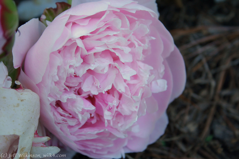 IMG_7851-flower-peony