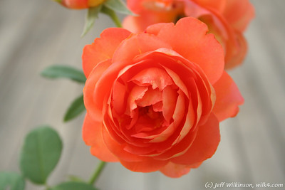 IMG_8011-flower-rose-red
