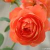IMG_8011-flower-rose-red
