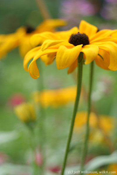 IMG_8084-flower-daisy-or-black-eyed-susan