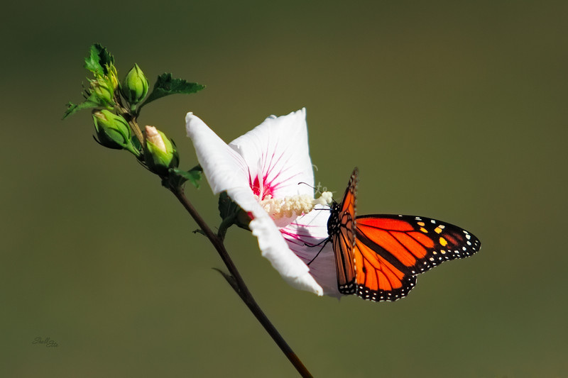 Monarch on Hibiscus