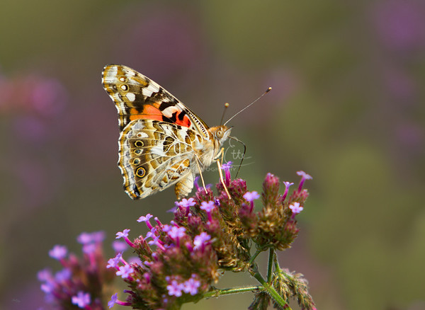 A Painted Lady Butterfly (Vanessa cardui)
