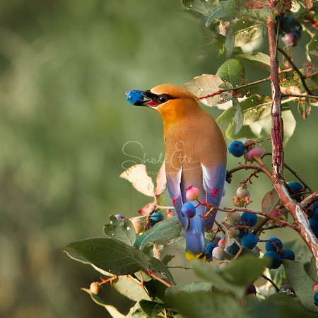 Cedar Waxwing Blueberry