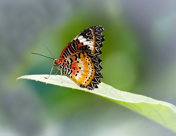 A Lacewing butterfly resting on a leaf, like she is preparing to sing a solo. Cethosia biblis