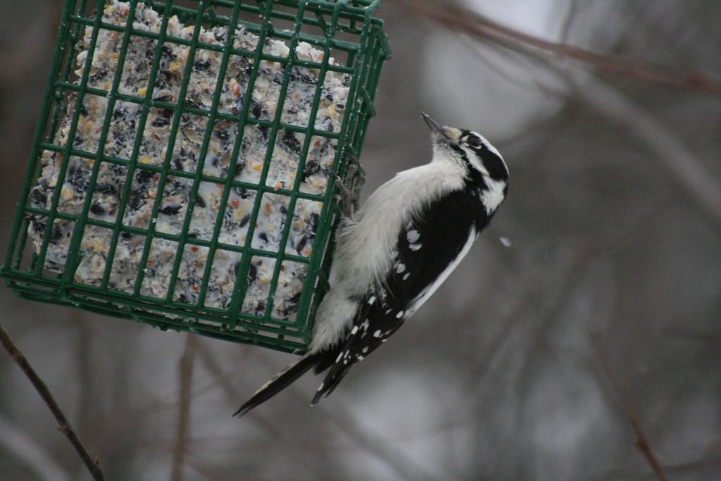 Tiny Downy Woodpecker