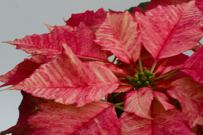 Poinsettia stock photography