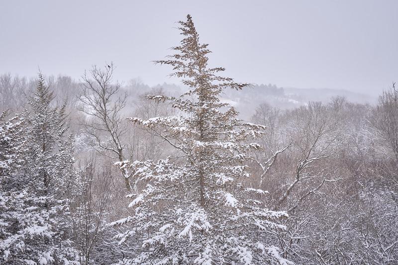Pine Tree and Robins