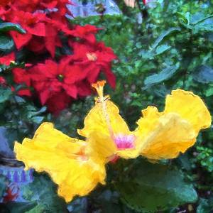 Pointsetta and Hibiscus