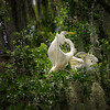 Two Egrets in Trees (3729)