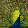 Peacock Proud 016 (1)