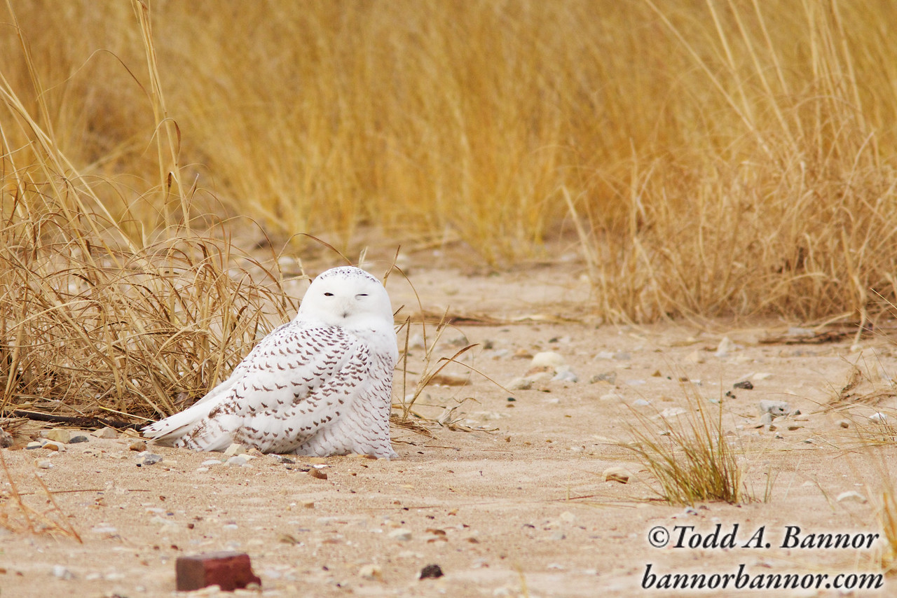 A snowy owl (Bubo scandiacus) dozes among the dune grass on Chicago's Montrose Beach. A unusually large number of the owls have traveled south from their normal range in search of food as their normal prey has become scarce this winter.