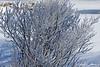 Haor Frost Bush