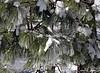 White Pine snow 1