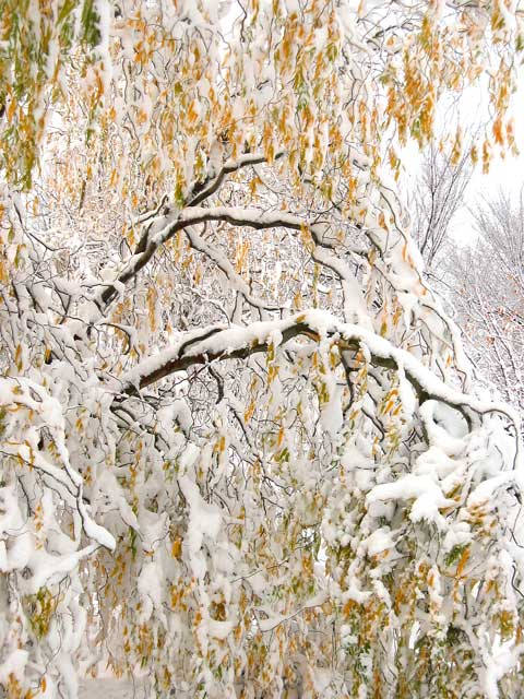 Corkscrew willow after early snowstorm...<br /> this tree was started from a sprig in an anniversary flower arrangement.<br /> The tree is fast growing<br /> but the wood is very brittle and snaps easily under the weight of snow and ice...<br /> especially when the leaves are still on the tree.