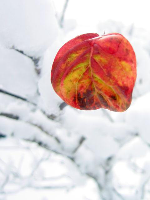 The very last leaf on the dogwood tree.