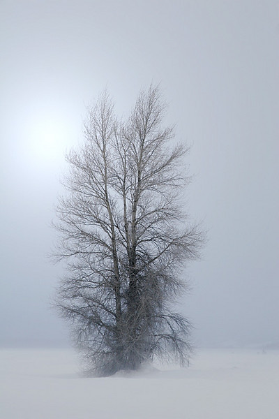 Aspen in Snowstorm - Grand Teton National Park, Wyoming
