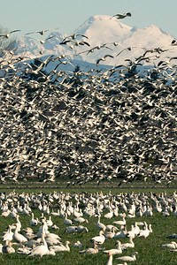 Snow Geese and Mt Baker, vertical