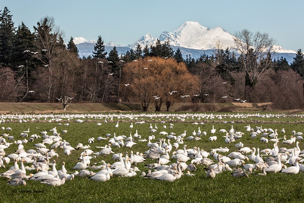 Snow Geese and Mt Baker afternoon, horizontal