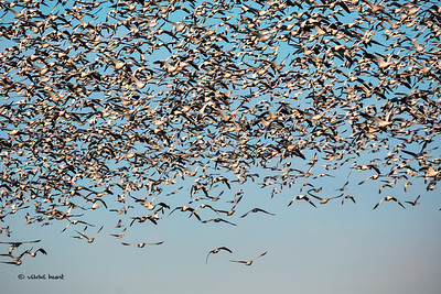 Morning Light on Snow  Geese