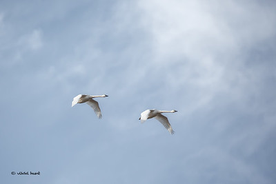 Trumpeter Swan above