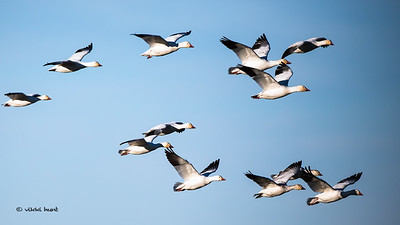 Morning Light on Snow  Geese II