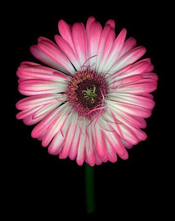 Bright Idea: Gerber Daisy