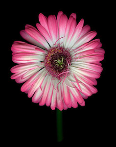 Bright Idea: Gerber Daisy