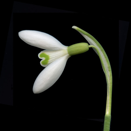 Equinox: Winter Snowdrop