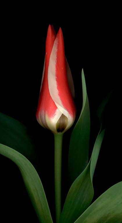 Pinocchio Tulip