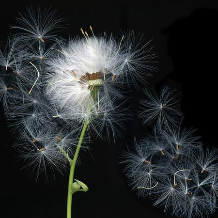 Potential: Old Dandelion