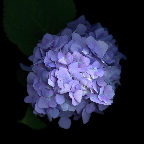 Contemplation: Blue Hydrangea