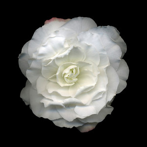 Inamorata: White Begonia