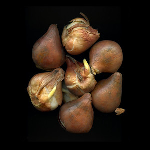 Hibernation: Tulip Bulbs