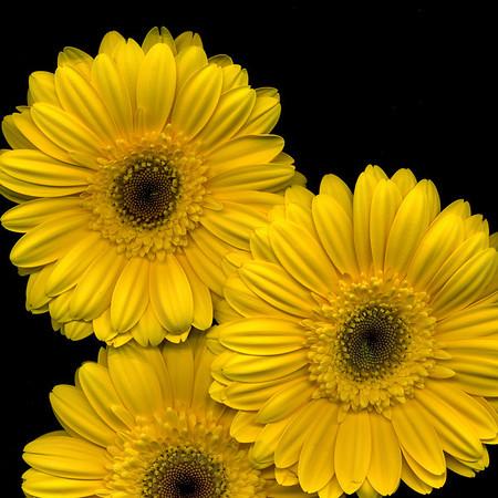 Three Yellow Gerbers