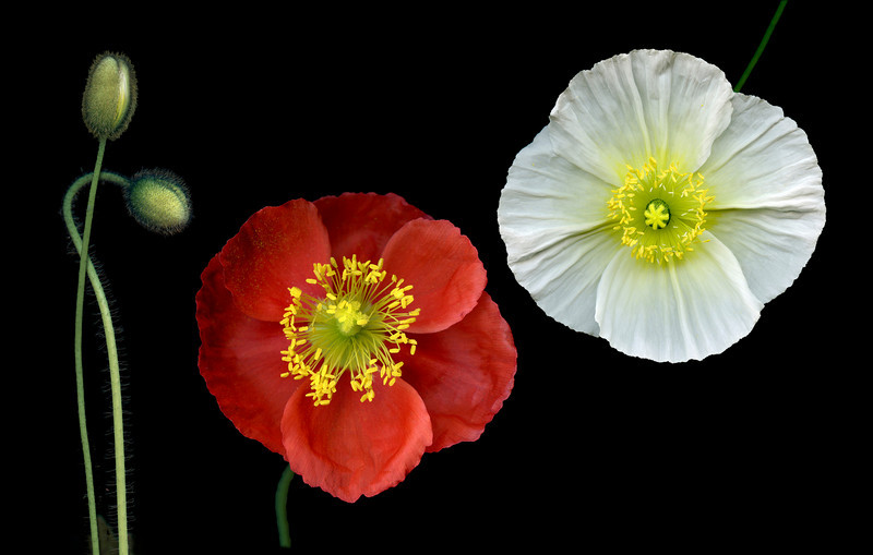 Four Poppies