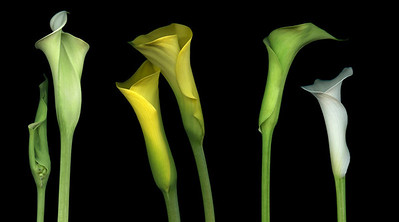 Six Calla Lilies